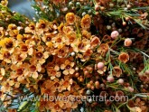 WAXFLOWER - ORANGE TINTED