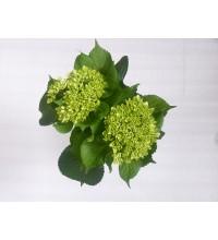 HYDRANGEA - GREEN MINI